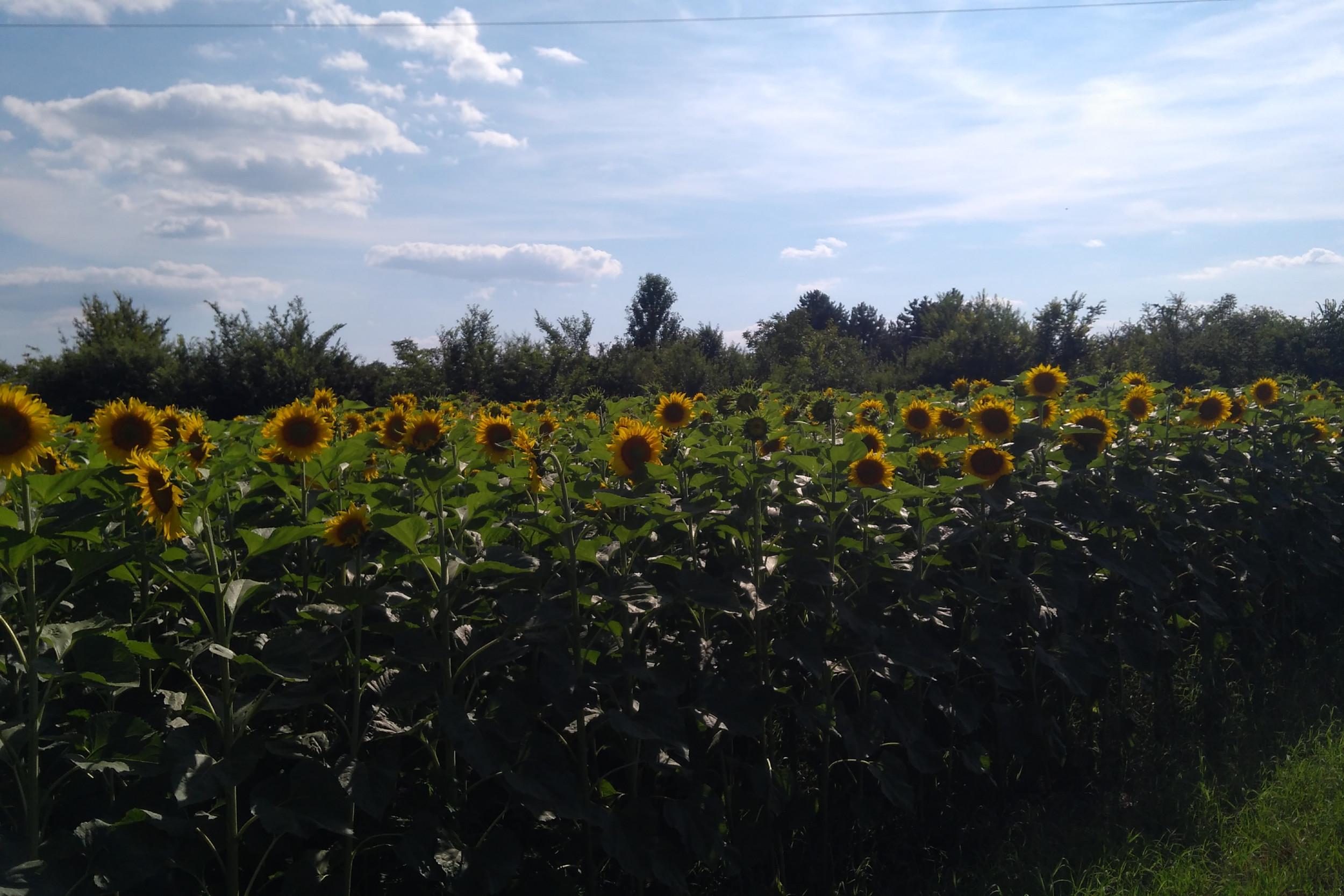 Типичан пејзаж војвођанске равнице: поља сунцокрета, околина Сомбора (Фото: Радомир Јовановић/Нови Стандард)