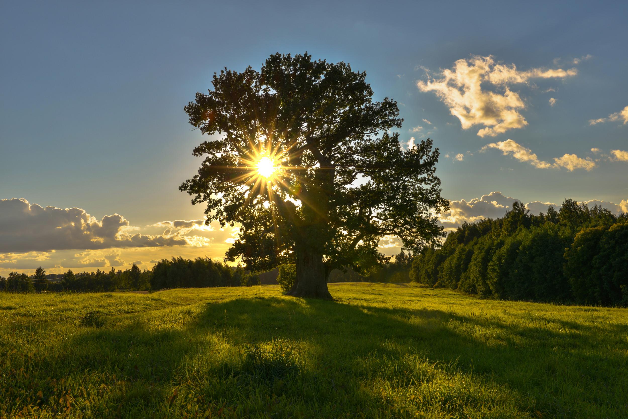 Tamme Lauri hrast, najstarije drvo u Estoniji (Foto: Wikimedia)